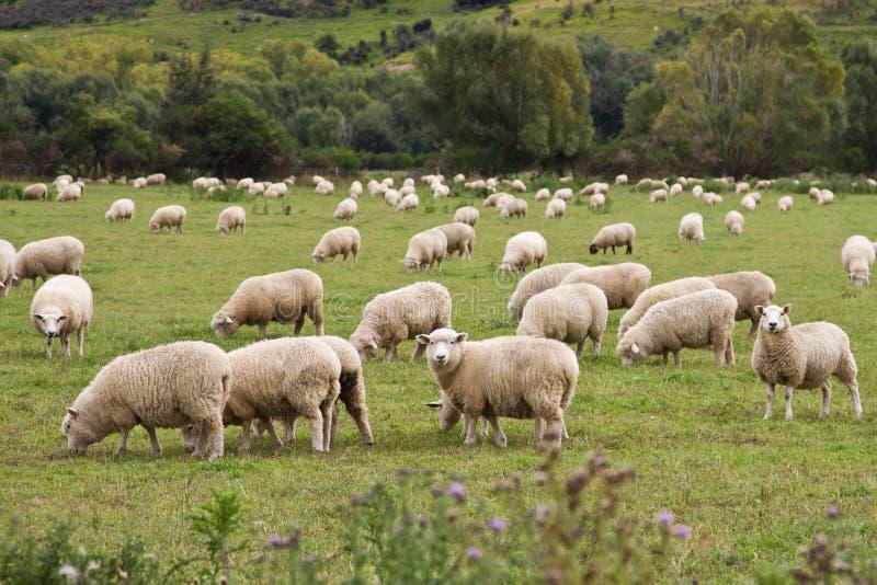 Moutons dans un maddow images stock