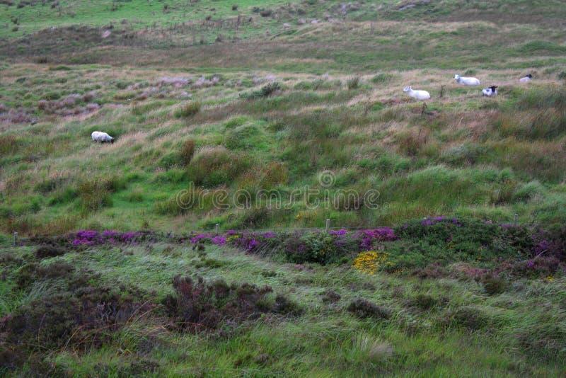 Moutons dans un pré photo stock