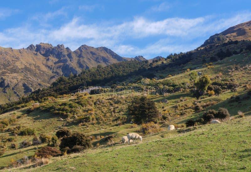 Moutons dans un pré vert et montagnes neigeuses à l'arrière-plan dans l'itinéraire scénique du sud, Nouvelle-Zélande image stock