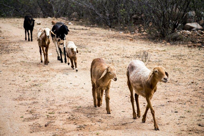 Moutons dans une ligne image stock