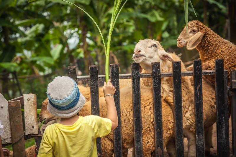 Moutons de alimentation d'agriculteur d'enfant dans la ferme image stock