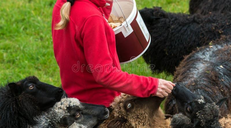 Moutons de alimentation de femme à la ferme norvégienne près de Bergen images libres de droits