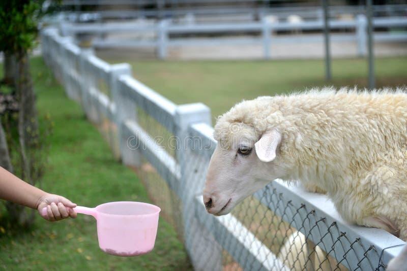 Moutons de alimentation par une main d'enfants tenant le réservoir rose photos stock