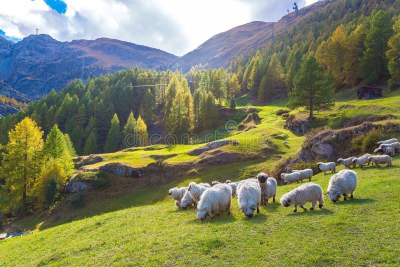 Moutons de blacknose du Valais dans les Alpes photo stock