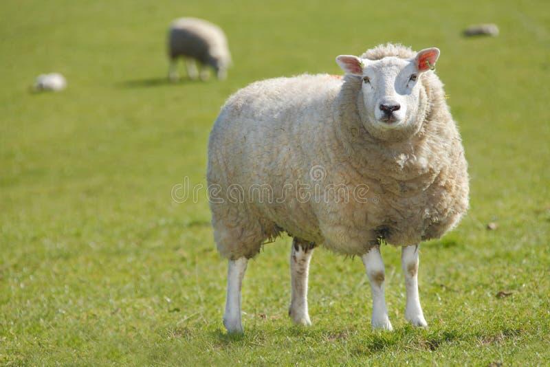 Moutons de brebis photographie stock libre de droits