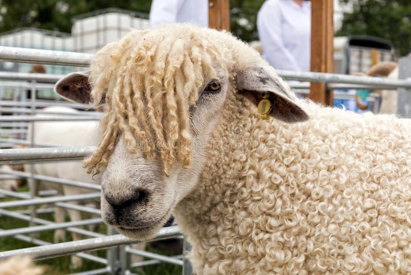 Moutons de Cotswold à l'exposition nationale de Hanbury, Angleterre photographie stock libre de droits