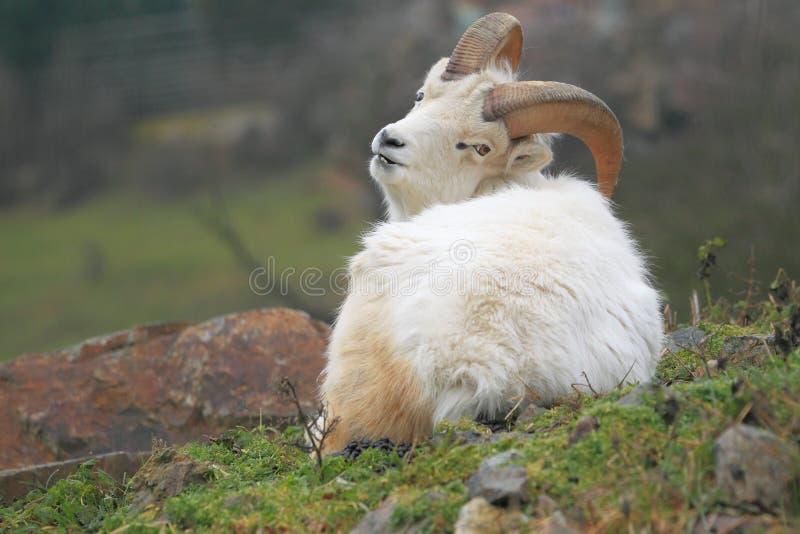 Moutons de Dall image stock