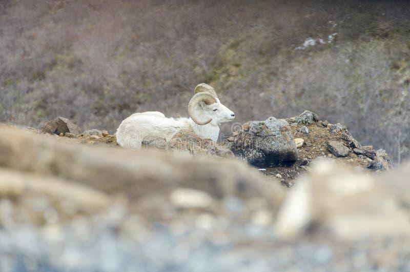 Moutons de Dall photo libre de droits
