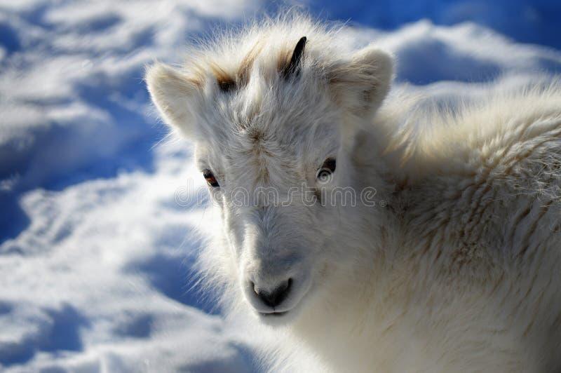 Moutons de Dall photographie stock