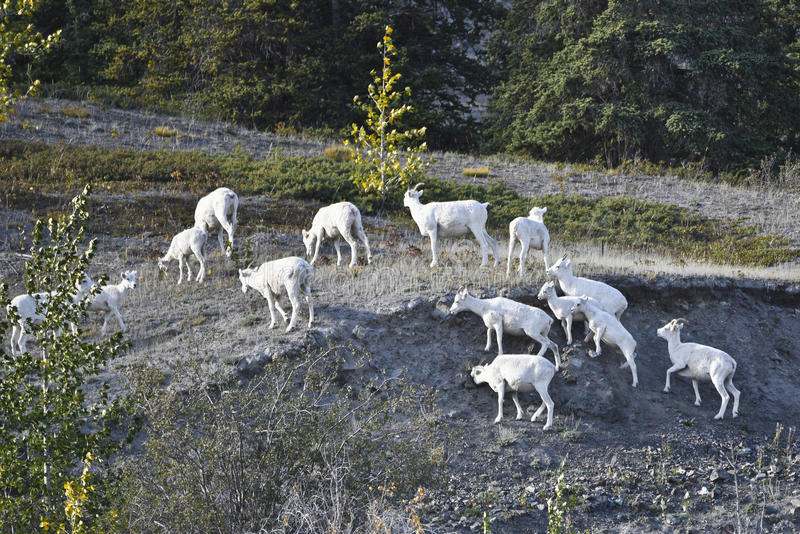 Moutons de Dall images stock