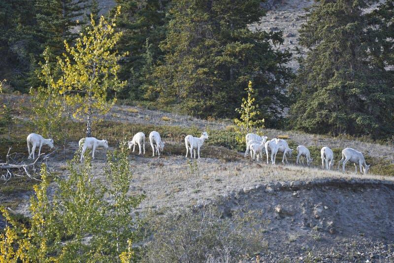 Moutons de Dall images libres de droits
