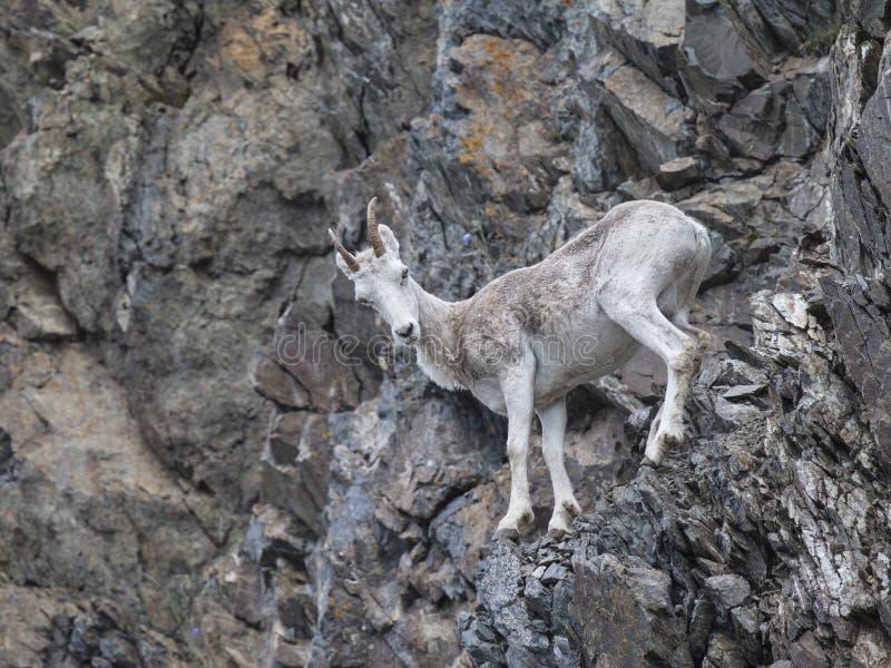 Moutons de Dall Alaska images libres de droits