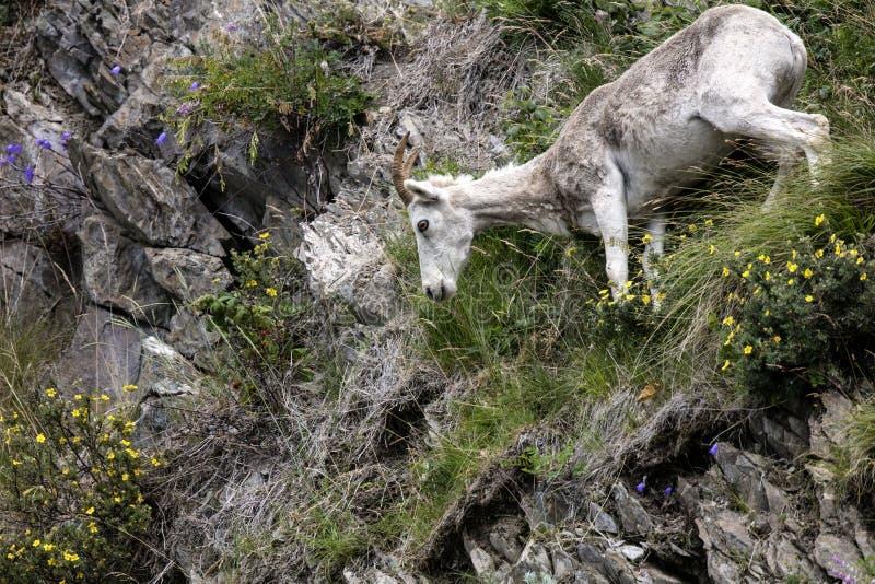 Moutons de Dall Alaska photo libre de droits
