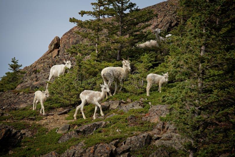 Moutons de Dall d'été photos stock