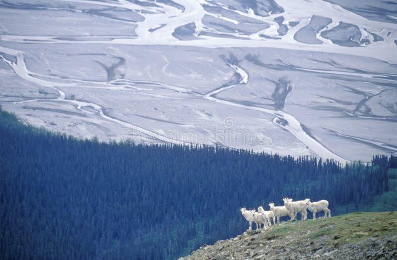 Moutons de Dall dans St Elias National Park, Wrangell, Alaska photo stock