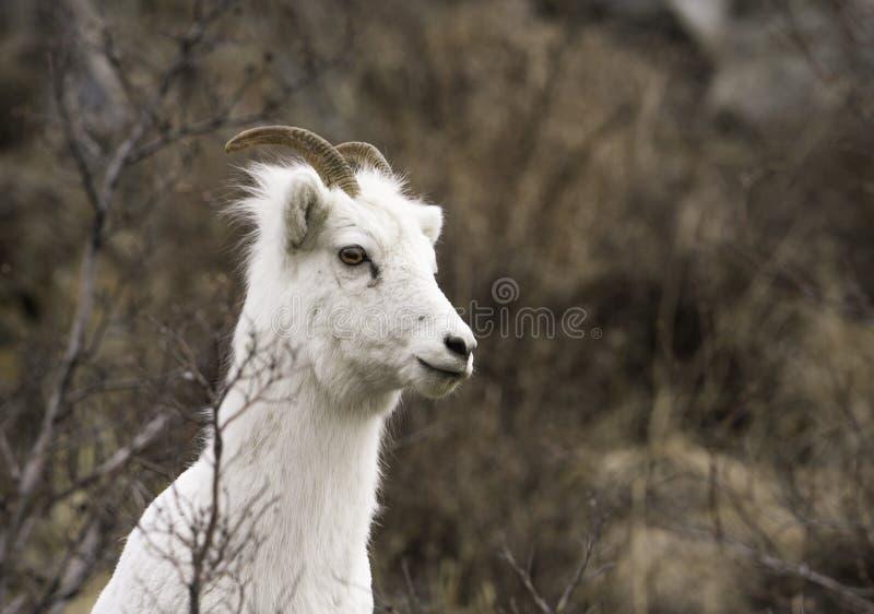 Moutons de Dall femelles photographie stock libre de droits