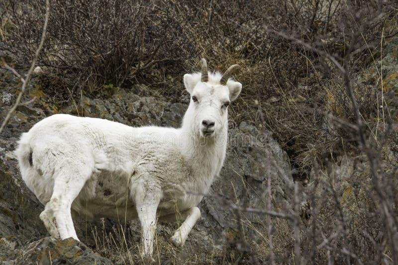 Moutons de Dall femelles image stock