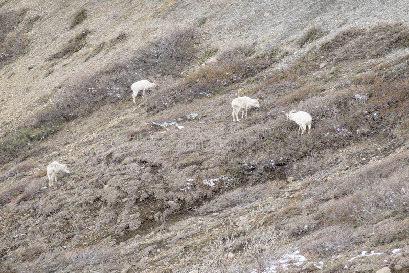 Moutons de Dall frôlant #2 images stock