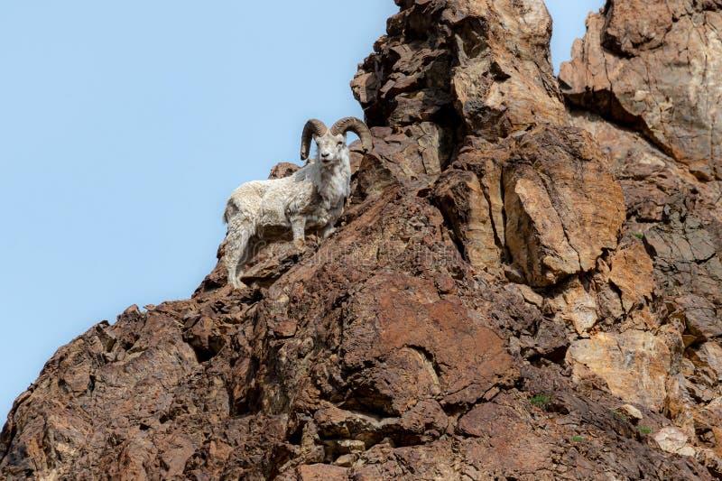 Moutons de Dall image libre de droits