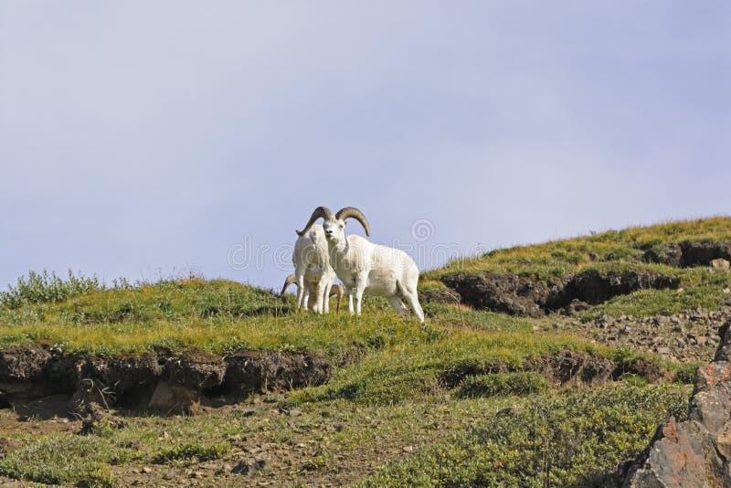 Moutons de Dall sur Ridge à distance photographie stock libre de droits