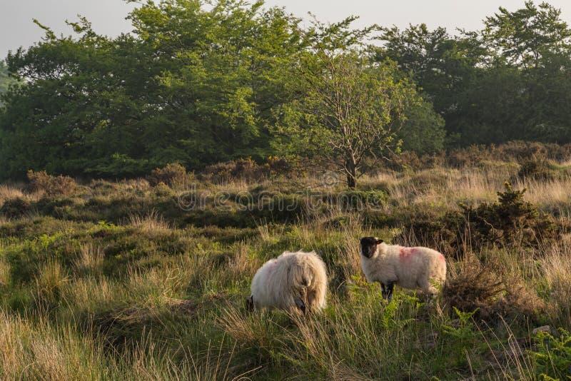 Moutons de Dartmoor photos libres de droits