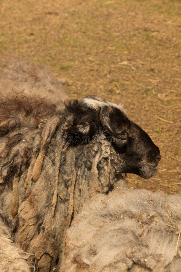 Moutons de Dlack photos libres de droits