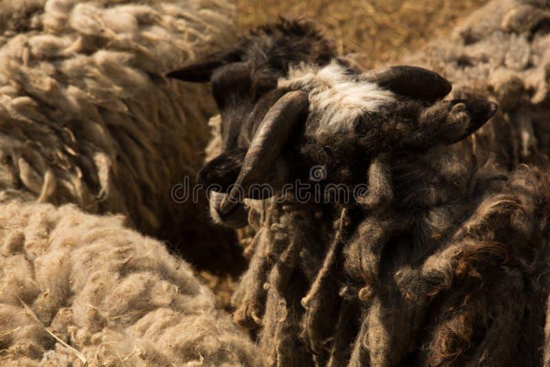 Moutons de Dlack photographie stock