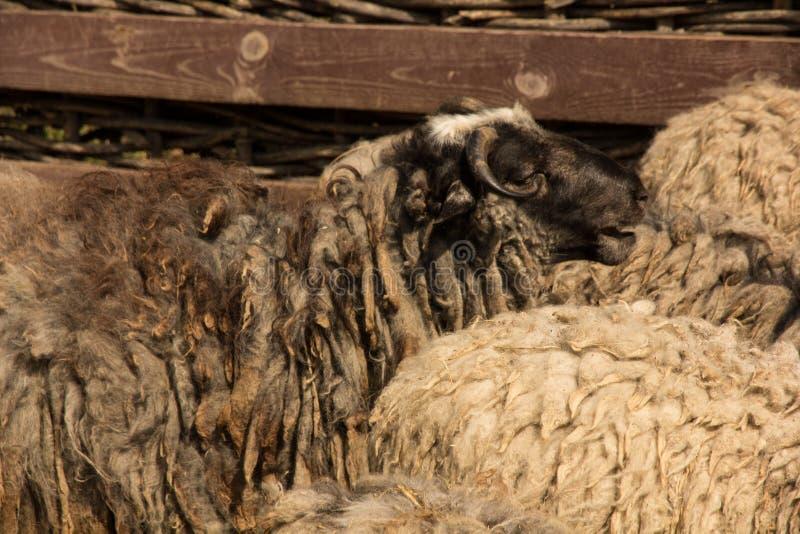 Moutons de Dlack images stock