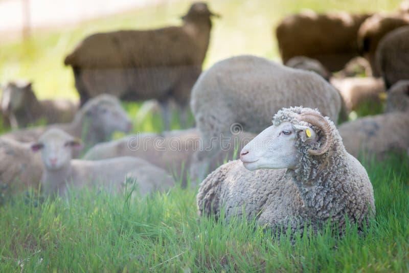 Moutons de Dorset photos stock