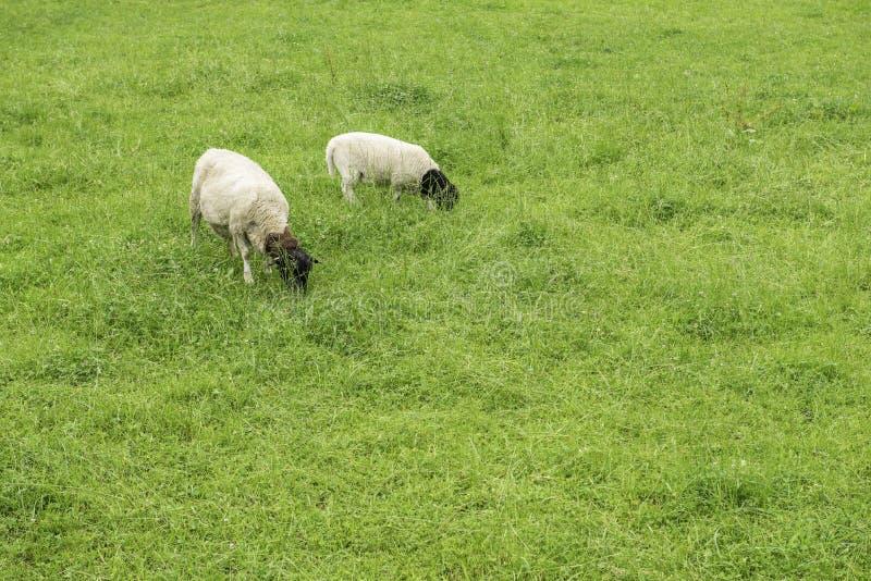 Moutons de duo avec les têtes noires alimentant sur un pré images libres de droits