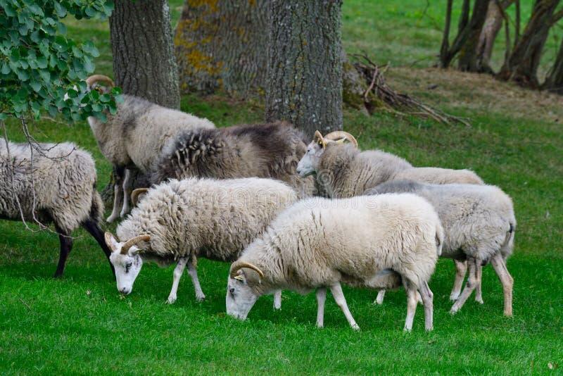 Moutons de Gute sur un pré du Gotland, Suède photographie stock