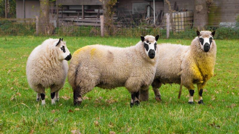 Moutons de Kerry photographie stock libre de droits