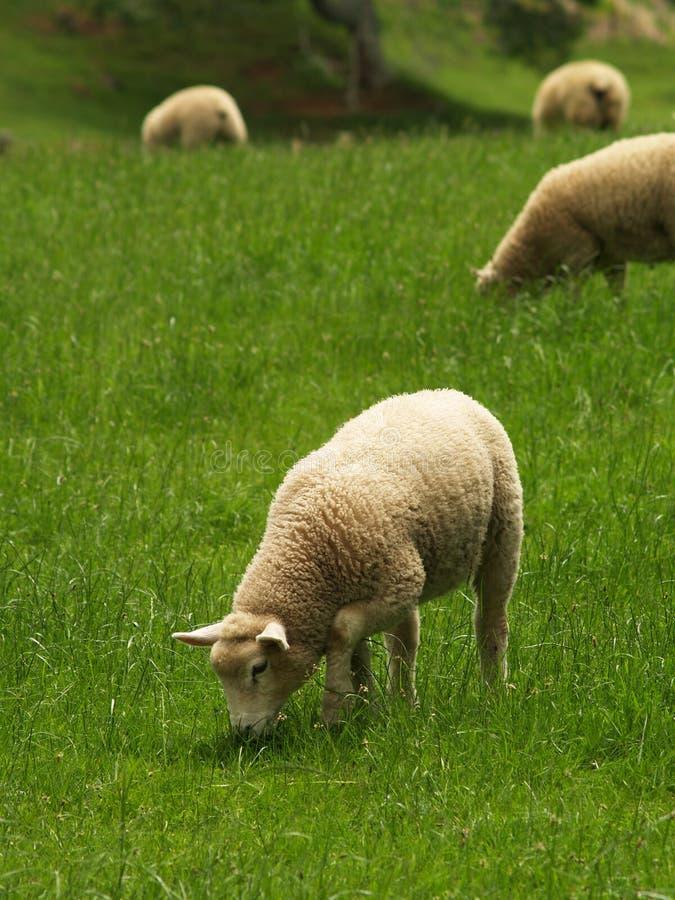 Moutons de la Nouvelle Zélande photo stock