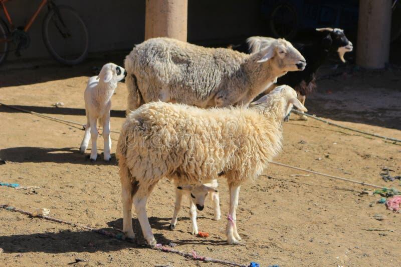 Moutons de laine à vendre photo stock