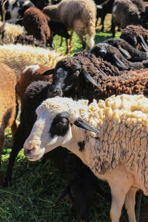 Moutons de laine à vendre images libres de droits