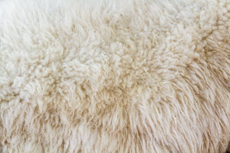 Moutons de laine image libre de droits