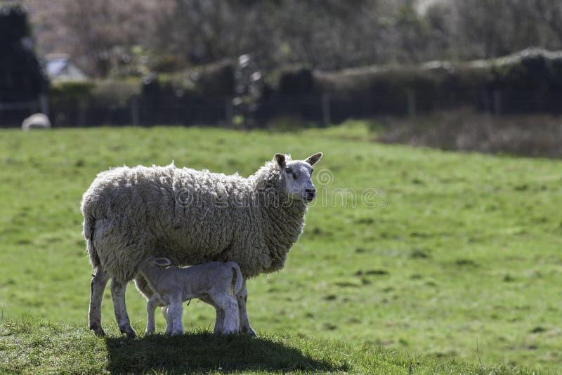Moutons de mère alimentant les agneaux jumeaux photos libres de droits