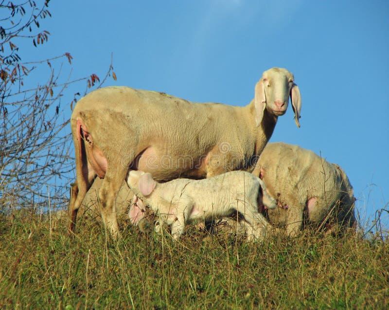 Moutons de mère allaitant son petit agneau image libre de droits