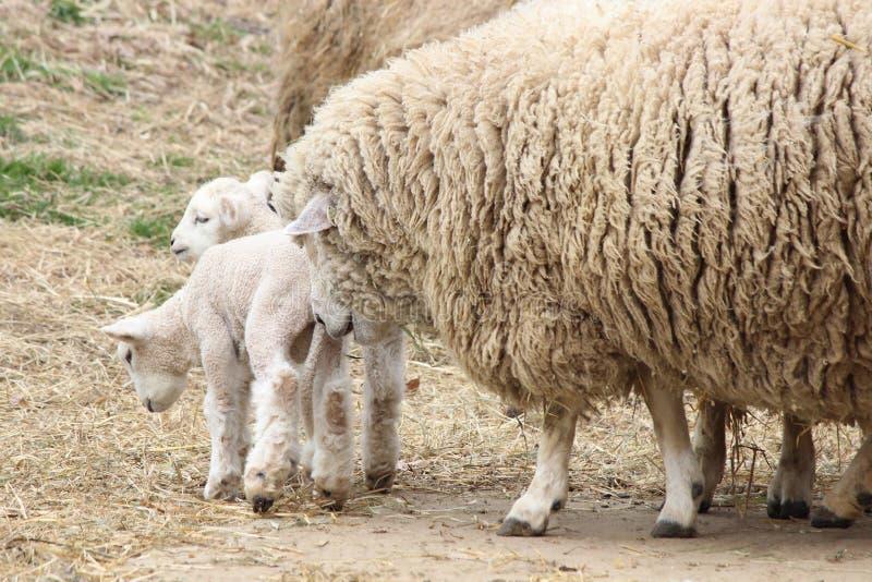 Moutons de mère avec des agneaux photographie stock