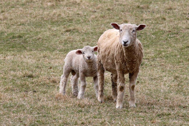 Moutons de mère avec son petit agneau blanc images libres de droits