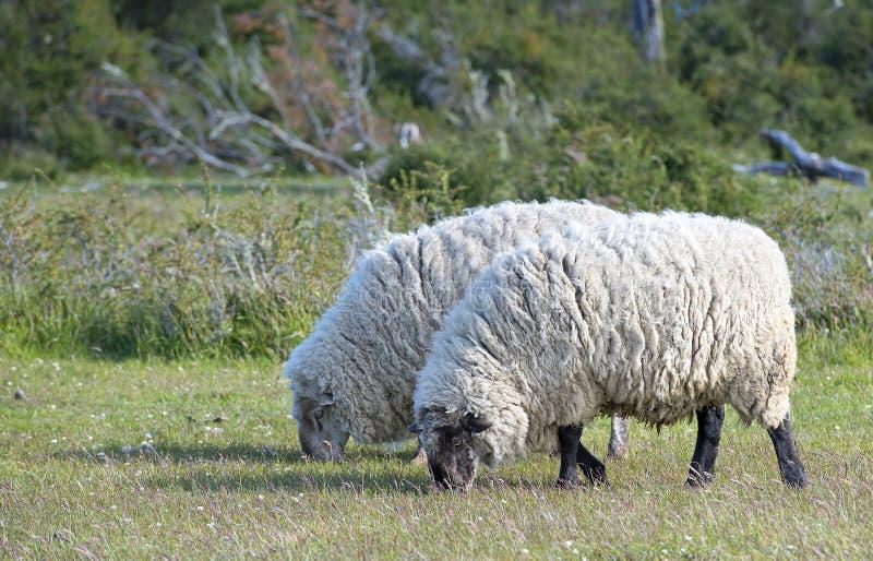 Moutons de Merino photo libre de droits