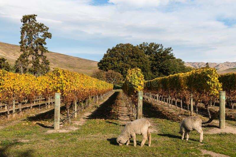 Moutons de Merino frôlant dans le vignoble image libre de droits