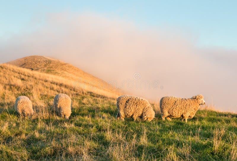 Moutons de Merino frôlant sur la colline herbeuse au coucher du soleil images stock