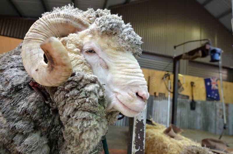 Moutons de Merino masculins image libre de droits