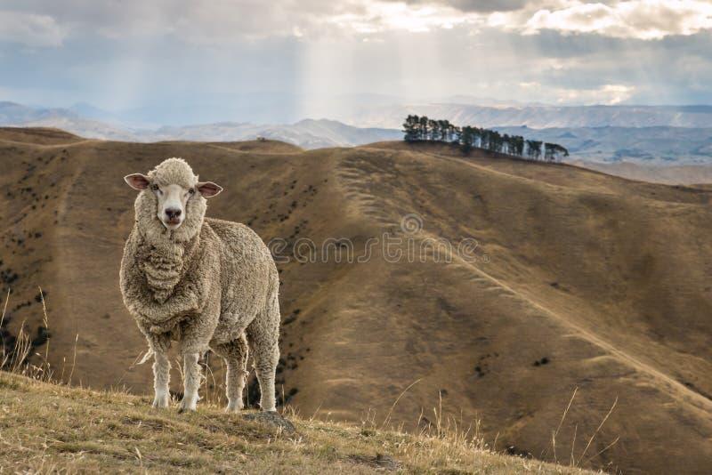 Moutons de Merino se tenant sur la colline herbeuse photos stock