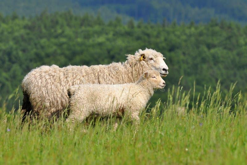 Moutons de momie et son agneau de chéri image libre de droits