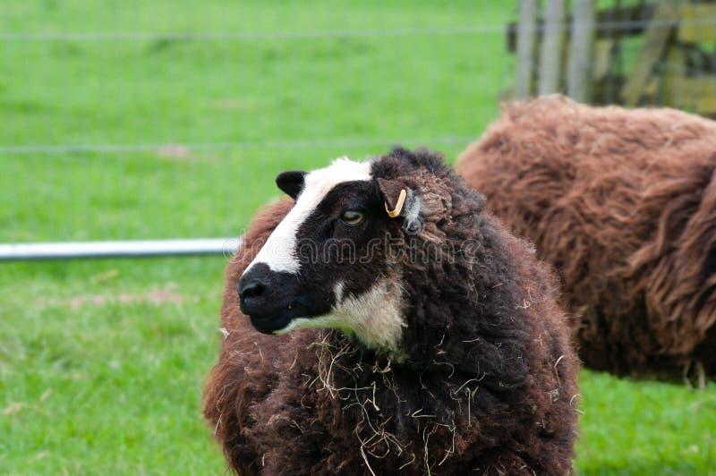 Moutons de montagne de Balwen Gallois montrant des inscriptions images stock