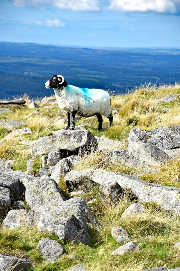 Moutons de montagne sur Dartmoor, Angleterre image libre de droits