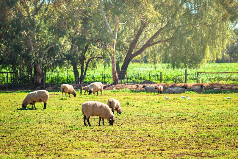 Moutons de pâturage australiens à une ferme photos stock