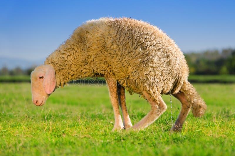 Moutons de pipi image stock
